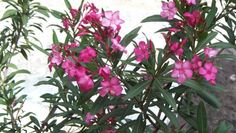 Photo gallery of Wild Flowers, Trees and Shrubs on Crete, Chania, Rethymnon, Heraklion, Iraklion, Lassithi, Lasithi