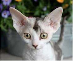 Devon Rex, I had a cats like this for a decade...I miss you guys....