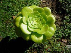 Aeonium canariense var. subplanum