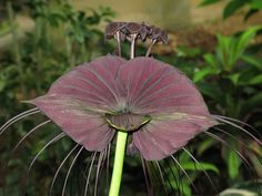 The Bat flower or Tacca chantrieri to give it its Latin name is an unusual but increasingly popular addition to gardens but grown best in the wild – often up to thirty six inches.  They were first introduced to Europe and the Americas at the turn of the last century when it was grown specifically for its fabulous foliage