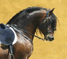 PRE stallion Pestillo.