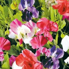 Sweet Pea Little Sweet Heart Mixed Kings Seed Range - Irish Plants Direct