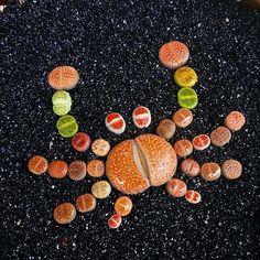 Lithop Crabby.. tag us in your favorite succulent art! via @mzgardens⠀ Follow us @succulentcity ⠀ #succulentcity to be featured!! ⠀ #succulents #succulentarrangement #succulent #succulove #succulentgarden #succulentaddict #succulentsofinstagram #cacti #cactus