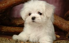 Fluffy Maltese Puppy Dogs - White Maltese Puppies wallpapers 1920*1200 ...