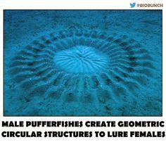 Amazing Underwater 'Crop Circles' Spun By Japanese Puffer Fish