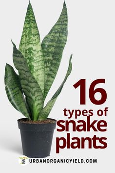 These 16 types are some of the most popular types of sansevieria (also known as snake plants) to own. Check out the different varieties of snake plants so you can start growing them indoors or outdoors. Also learn how to care for snake plants. #SnakePlants #Plants #Succulents #Houseplants #IndoorGardening #Gardening #UrbanOrganicYield Indoor Succulents, Indoor Plants, Sansevieria Cylindrica, Types Of Snake, Lower Lights, Urban Gardening, Snake Plant, Potting Soil, Grow Lights