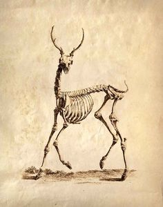 vintage study of a deer's skeleton