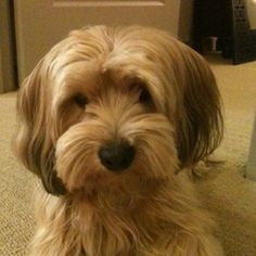 My uncles tells us that the dog he gave was of Poodle and Shi Tzu mix when it really looks like a Havanese