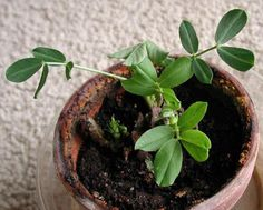 Coltivare le noccioline americane nell'orto