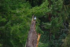 Female Belted Kingfisher seen at the Pedder Bay Marina.