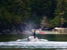 Best places to kayak with whales