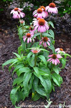 Plant it and forget it- repeat bloomer,perennial-Purple Coneflower echinacea species. Deer-resistant.