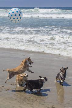 Hooray! It's Beach Day! Cuddles, the Pembroke Welsh Corgi & pals, via OCD: Obsessive Corgi Disorder