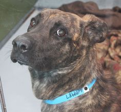 *MUSTANG-ID#A699987    Shelter staff named me MUSTANG.    I am a male, black brindle German Shepherd Dog mix.    The shelter staff think I am about 2 years old.    I have been at the shelter since Feb 18, 2013.