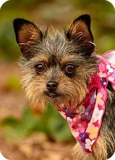 sylmar, CA - Yorkie, Yorkshire Terrier/Chihuahua Mix. Meet Bella, a dog for adoption. http://www.adoptapet.com/pet/14119756-sylmar-california-yorkie-yorkshire-terrier-mix