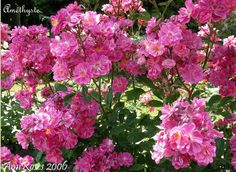 Rosa wichuraiana multiflora 'Améthyste'