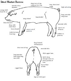Learning to judge Livestock Judging Programs: How to Judge Swine - Modern Livestock Judging, Showing Livestock, 4 H Club, Pig Showing, Animal Science, Ag Science, Pig Pen, Pig Farming, Farming Life