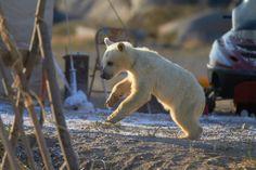 Nanuk, il piccolo orso Midnight Sun, Polar Bear, Animals, Animales, Animaux, Animal, Animais