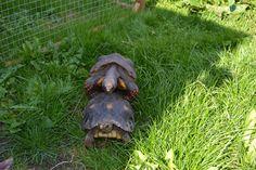 Las tortugas de tierra suelen ser animales tranquilos, pertenecen a la familia  Testudine. por lo que en muchos casos son domesticables. Hay bastantes especies de tortugas terrestres que pueden encontrarse en todo el planeta, sin embargo, algunas están en peligro de extinción, mientras que otras abundan en diferentes locaciones. Turtle, Giant Tortoise, Predator, Cases, Earth, Turtles, Tortoise