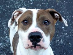 HELP! BACK AGAIN ON THE LIST! TBD 1/12/14! Manhattan Center  SMACKS - A0988706   FEMALE, WHITE / BROWN, PIT BULL MIX, 2 yrs  STRAY - STRAY WAIT, NO HOLD Reason STRAY   Intake condition NONE Intake Date 01/02/2014, From NY 10029, DueOut Date 01/05/2014 Original thread: https://www.facebook.com/photo.php?fbid=735702479775967&set=a.617938651552351.1073741868.152876678058553&type=3&permPage=1