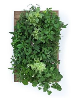 Grow herbs indoor any time of year with a Sage Living Wall. Space-saving and…