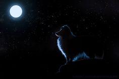 Sheltie Moon