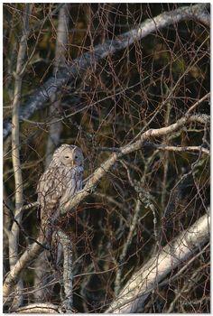 Autumn Ural owl #owl