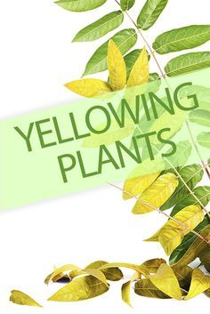 Why are your plants turning yellow?