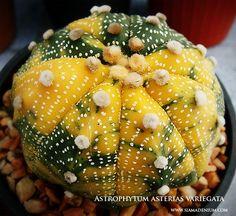 Astrophytum asterias variegata