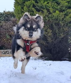 Infindigo Lintu Henkka having fun in the snow Husky, Have Fun, Snow, Puppies, Dogs, Animals, Animaux, Doggies, Animal
