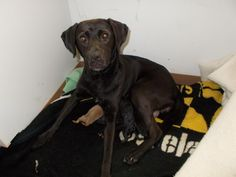 Meet HARRIET, a Petfinder adoptable Labrador Retriever Dog | Circleville, OH | Harriet is a female lab mix about 2 years old she came to our shelter pregnant and her puppies have...