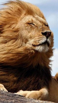 Beautiful Lion, Most Beautiful Animals, Nature Animals, Animals And Pets, Big Cats, Cool Cats, Lion Photography, Lion Love, Funny Animals With Captions