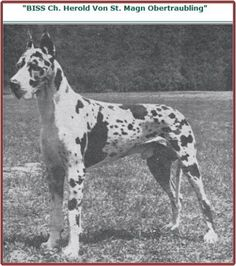 BISS CH Herold von St. Magn Obertraubling, harl, born 1957. Imported to the US where his name appears frequently in pedigrees of harls & blacks. Included quite a few champions, but perhaps his most notable breeding was to CH Brandy's Charm of Lidgerwood, which produced Dinro's Ben Shalom (sire CH Dinro's Neshobe Chief) and CH Dinro's Unlimited Charm (who was Dinro's top producing harl female).