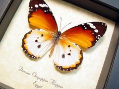 Species: Danaus chrysippusalcippus Common Name: Plain Tiger or the African Monarch Native Origin: Egypt Frame Size: 5″ x 5″ Frame Color: Black Wood Frame: Finest Handmade Museum Quali…