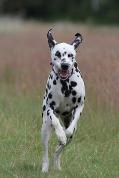 Dalmatian by Lottie and lily, via Flickr