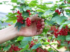 FOTO:  Liv Sandvik Jakobsen Strawberry, Fruit, Garden, Kitchen, Garten, Cooking, Strawberry Fruit, Gardens, Kitchens