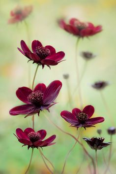 Cosmos choca mocha.....they smell like chocolate!.... and reseed!