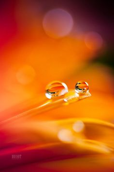 """Duality - Water droplets on flower petals. Follow me on <a href=""""https://www.facebook.com/BrandtCampbell"""">Facebook</a> for photos you won't see on here!"""