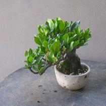 盆栽:タチバナモドキのミニ |春嘉の盆栽工房