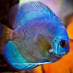 1000 images about tropical fish on pinterest tropical for Wholesale tropical fish
