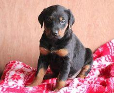 Spike   Doberman Pinscher Mix, Lab Mix Puppy For Sale   Keystone Puppies Doberman Puppy Red, Red Doberman Pinscher, Doberman Puppies For Sale, Lab Mix Puppies, Welsh Corgi Puppies, Newborn Puppies, New Puppy, Children, Dogs