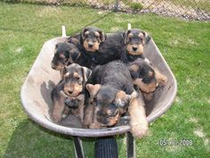 airedale pups