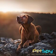PetSpy® E-Collars - Official Manufacturer Website Dog Training Books, Training Your Dog, Electric Fencing, Electric Dog Collar, Dog Shock Collar, Collar Designs, Collars, Labrador Retriever, Dogs