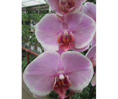 Phalaenopsis Роман, Романтика Romance