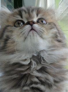 Beautiful CFA golden persian kitten at Persiankittenpals.com