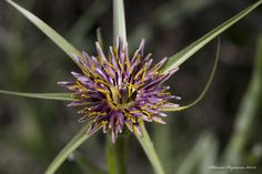 Tragopogon longirostris - זקן-תיש ארוך   by Mugzemet