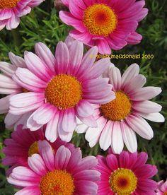 Argyranthemum 'LaRita Dark Pink'