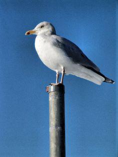 see gull photo