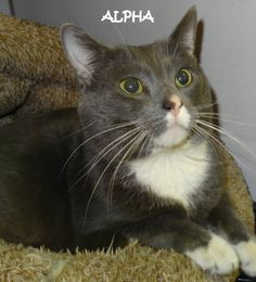 ADOPTED!  Name is Alpha (arrived with Dill) Male-not neutered Friendly, handsome guy!   Located at 2396 W Genesee Street, Lapeer, Mi. For more information please call 810-667-0236. Adoption hrs M-F 9:30-12:00 & 12:30-4:15, Weds 9:30-12:00 & Sat 9:00-2:00    https://www.facebook.com/267166810020812/photos/a.824038914333596.1073742143.267166810020812/824038997666921/?type=3&theater