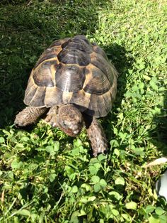 Tortoises Where Dealers And Pet Shops Are Offering Tortoises - Man walks pet tortoise through tokyo
